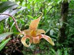 Bulbophyllum.jpg