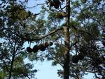 070715_Durian_tree.jpg